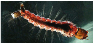 image of Toxorhynchites rutilus