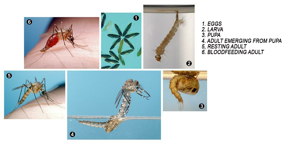 LifeCycle of mosquito with list of stages